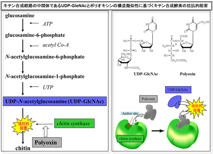 キチン合成経路の中間体であるUDP-GleNAcとポリオキシンの構造類似性に基づくキチン合成酵素の拮抗的阻害