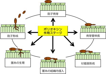 ポリオキシン作用ステージ