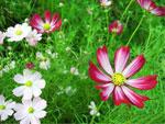 ポリオキシンAL水溶剤の%%%br%%%花の品種と薬害について